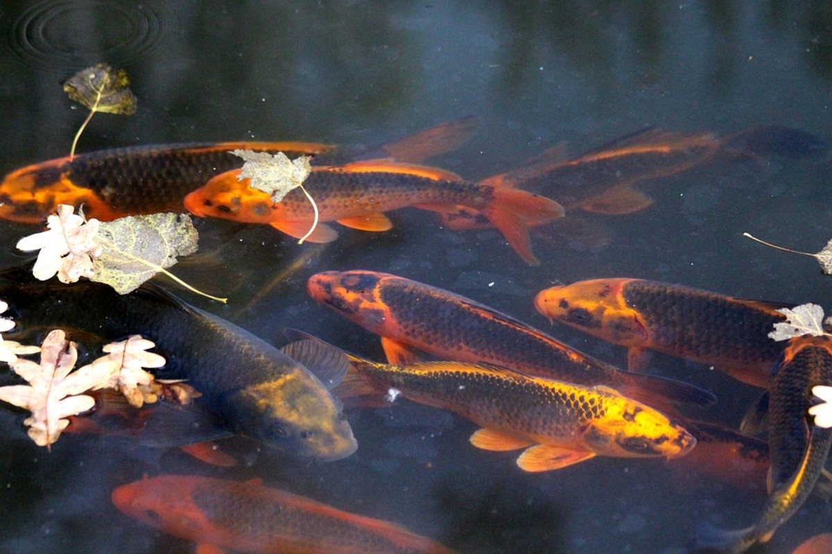 What You Need to Know Before Buying Your First Pet Koi