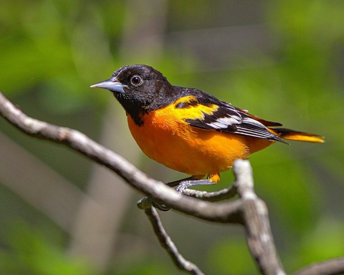 The male and female Baltimore orioles (Icterus galbula) breed in North America east of the Rockies.   The male, shown here, is black, white, and a bright golden orange.