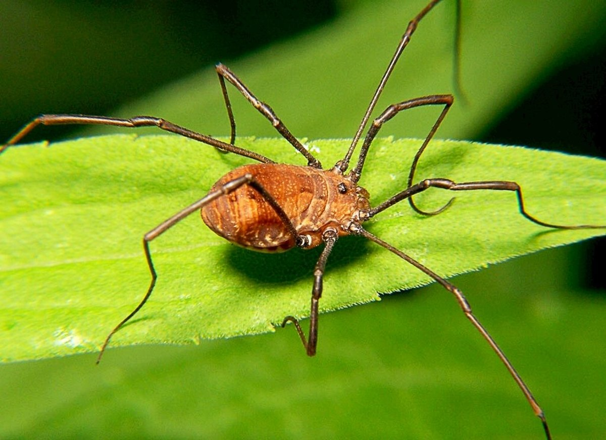 3 Yellow Bodied Daddy Long Legs