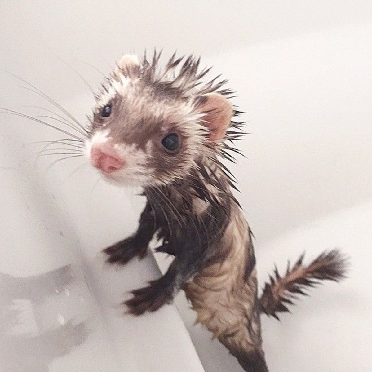 How to Bathe and Groom Your Ferret