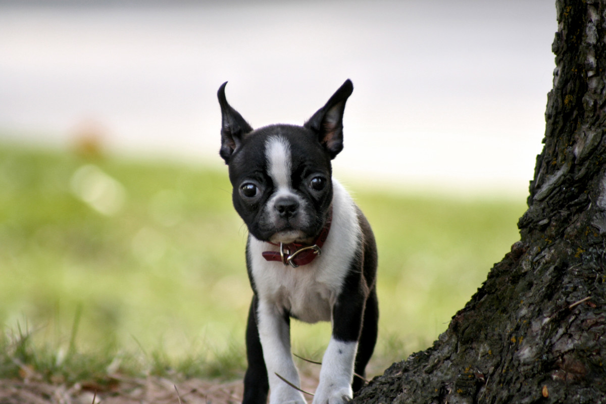 5 Important Pros And Cons Of The Boston Terrier Breed Pethelpful