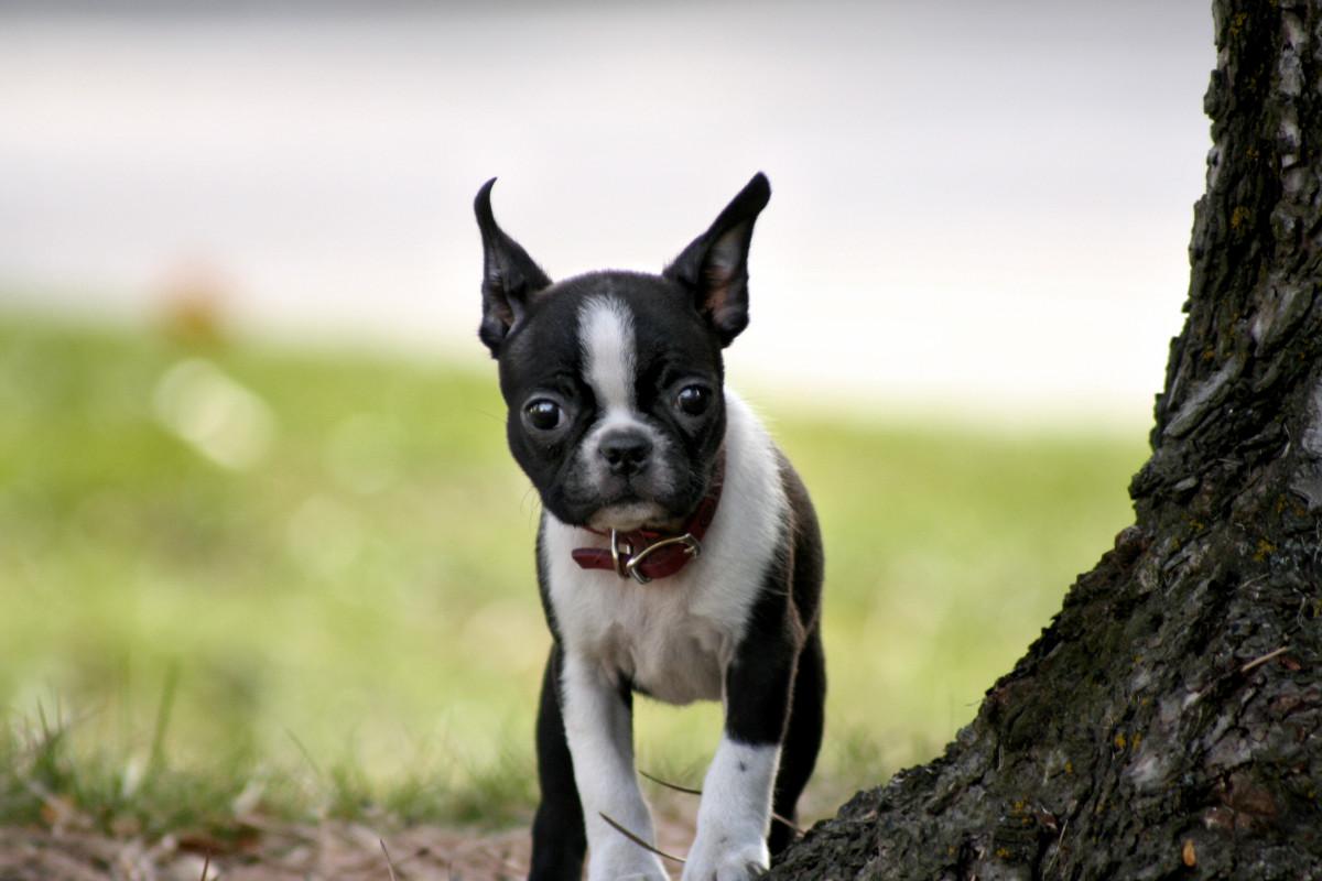 Eight-Week-Old Boston Terrier Puppy