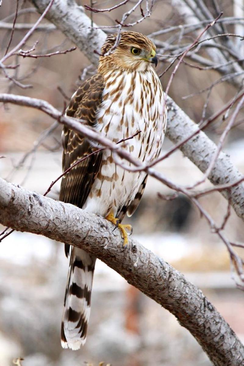 The Native North American Cooper's Hawk, a Crafty Bird of Prey