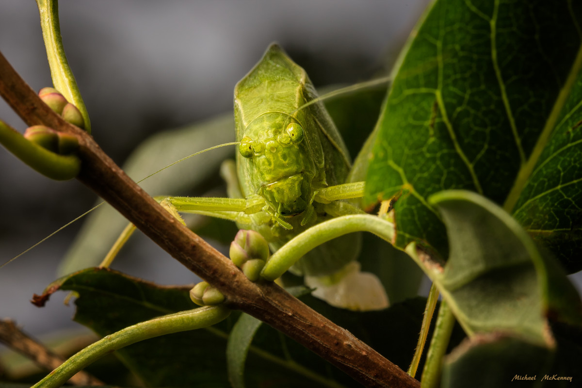 A female Katydid making her way through the leaves of a plant.  She is a master at camouflage and if is very hard to find her among the leaves.