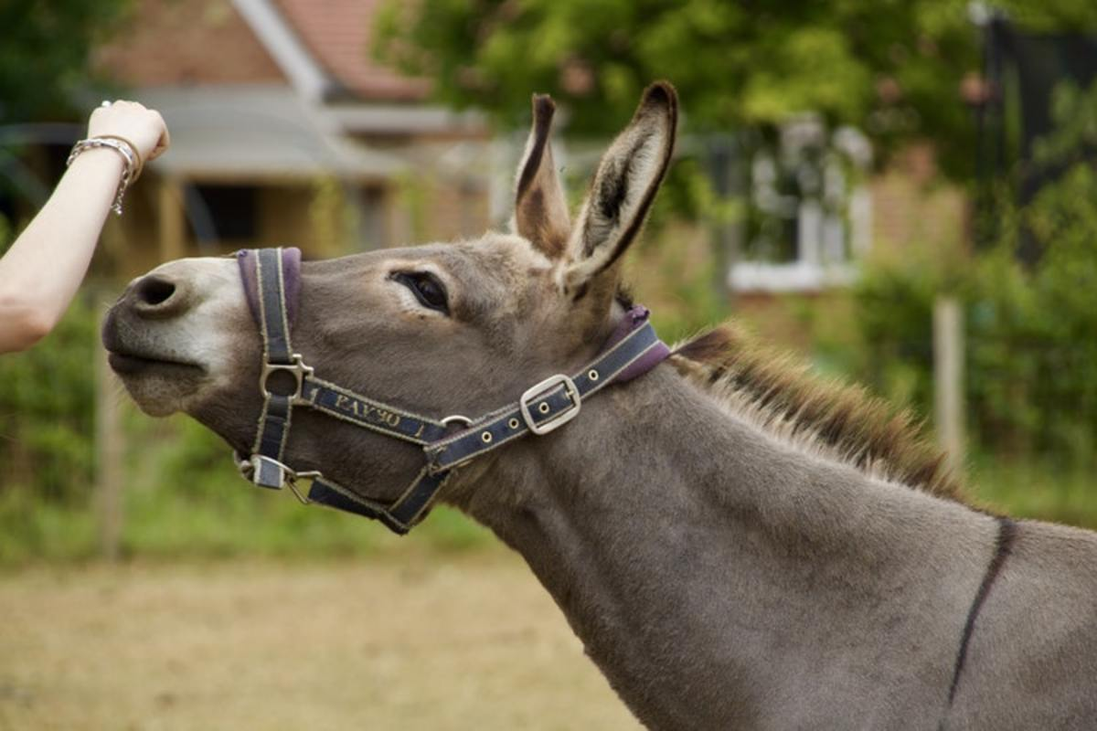 Donkeys can make very amiable pets.