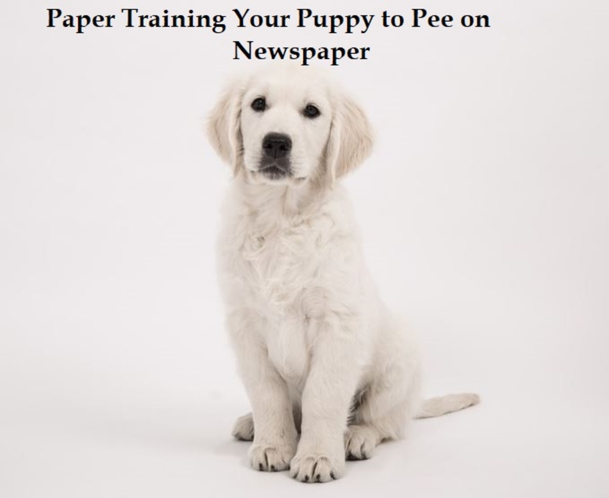 Paper Training Your Puppy to Pee on Newspaper