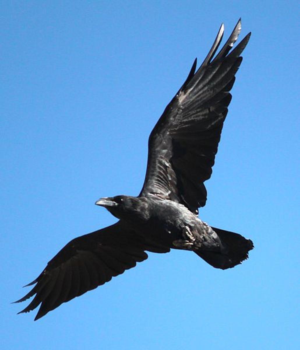 Am I a Corvus
