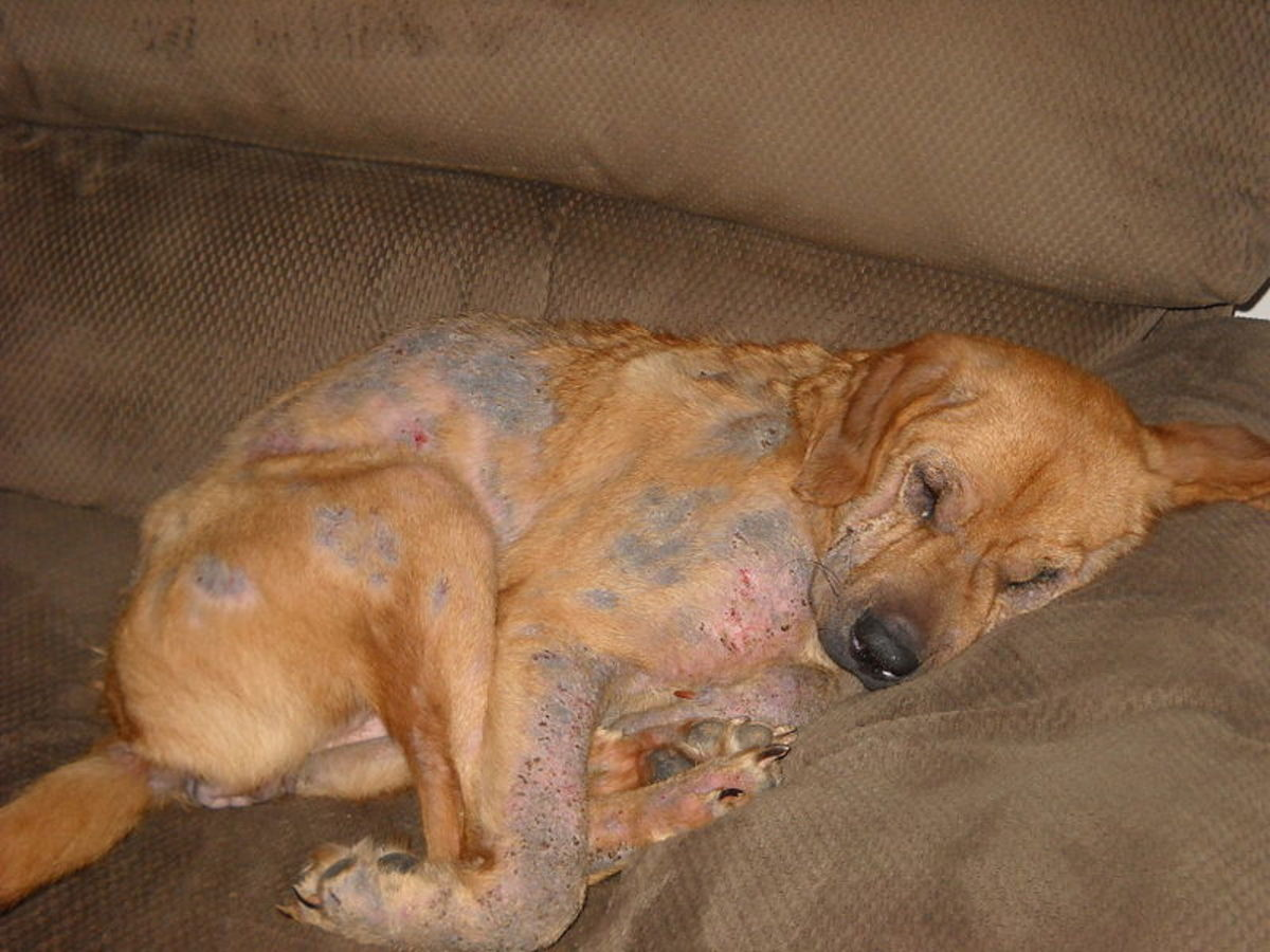 Dog with severe demodectic mange.