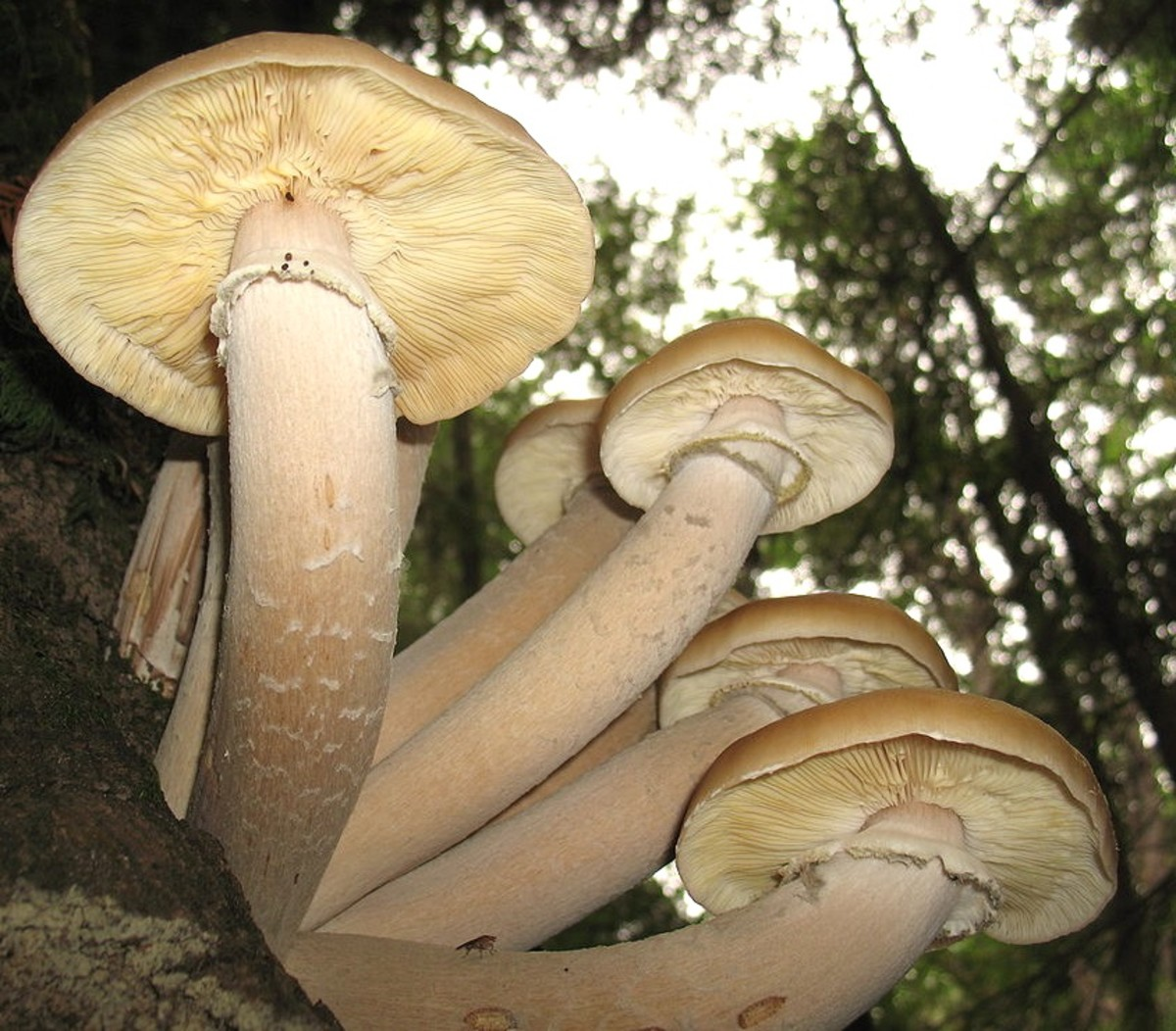 The largest living organism (Armillaria ostoyae) covers over 2,385 acres and produces honey mushrooms (pictured) in the fall.