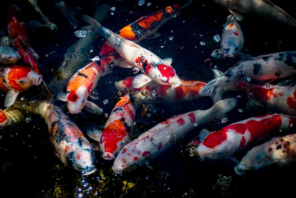 Are you new to keeping koi and still learning the lingo? Get help with the words used to describe their bodies, their colouration and more.