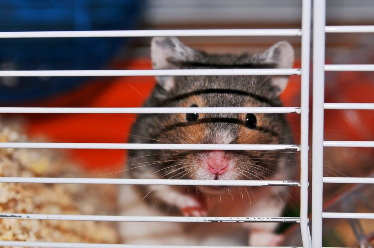 The Best Hamster Cage Size: How Big Should It Be?