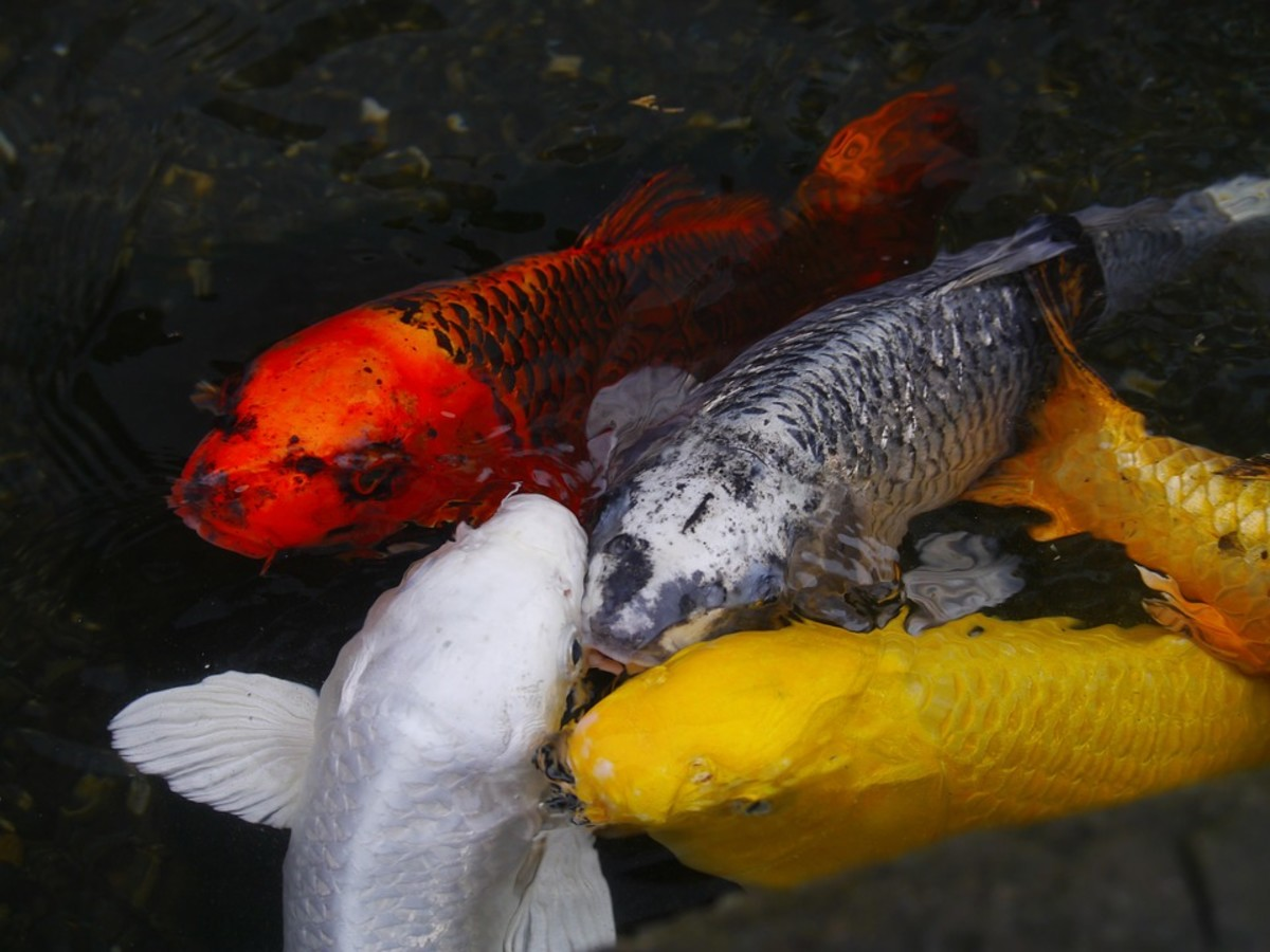 Should I Join a Koi Club?