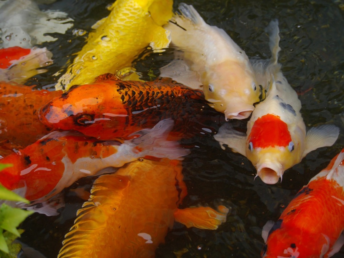Top 5 Benefits You'll Get From Owning Pet Koi