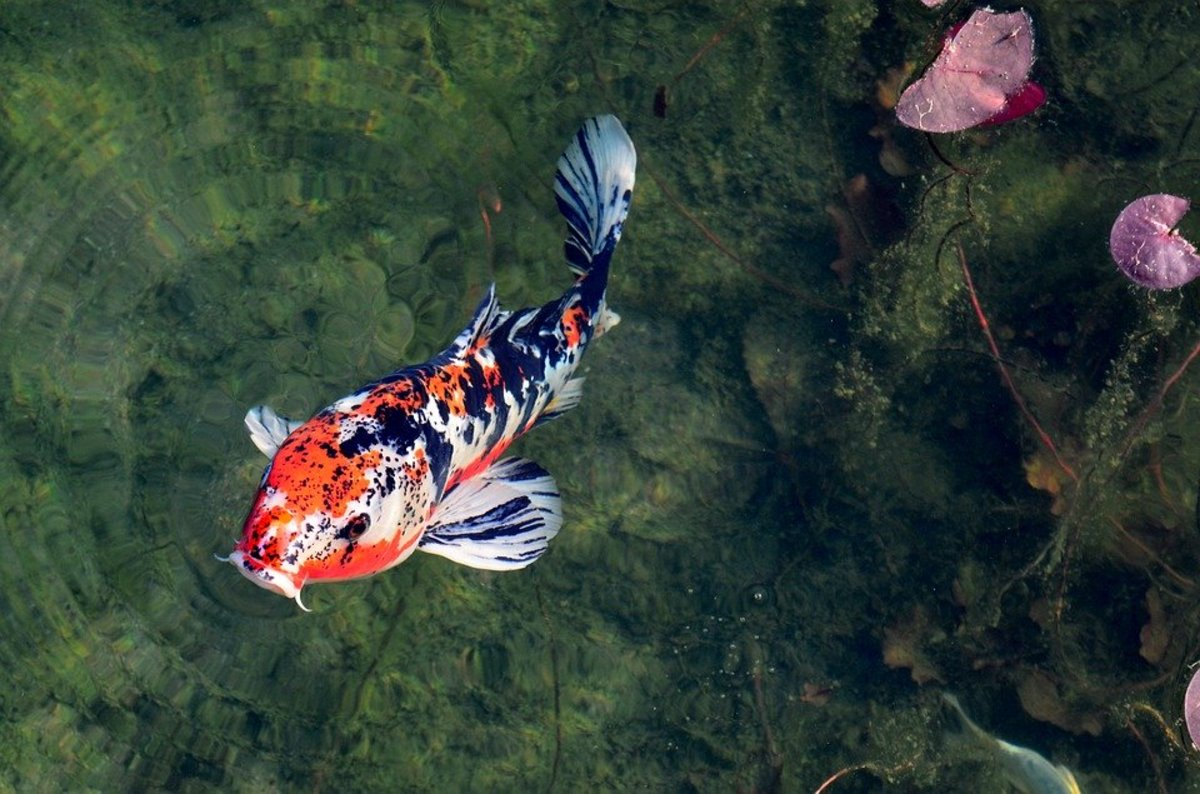 Koi-Keeping Essentials: Your Quarantine Tub