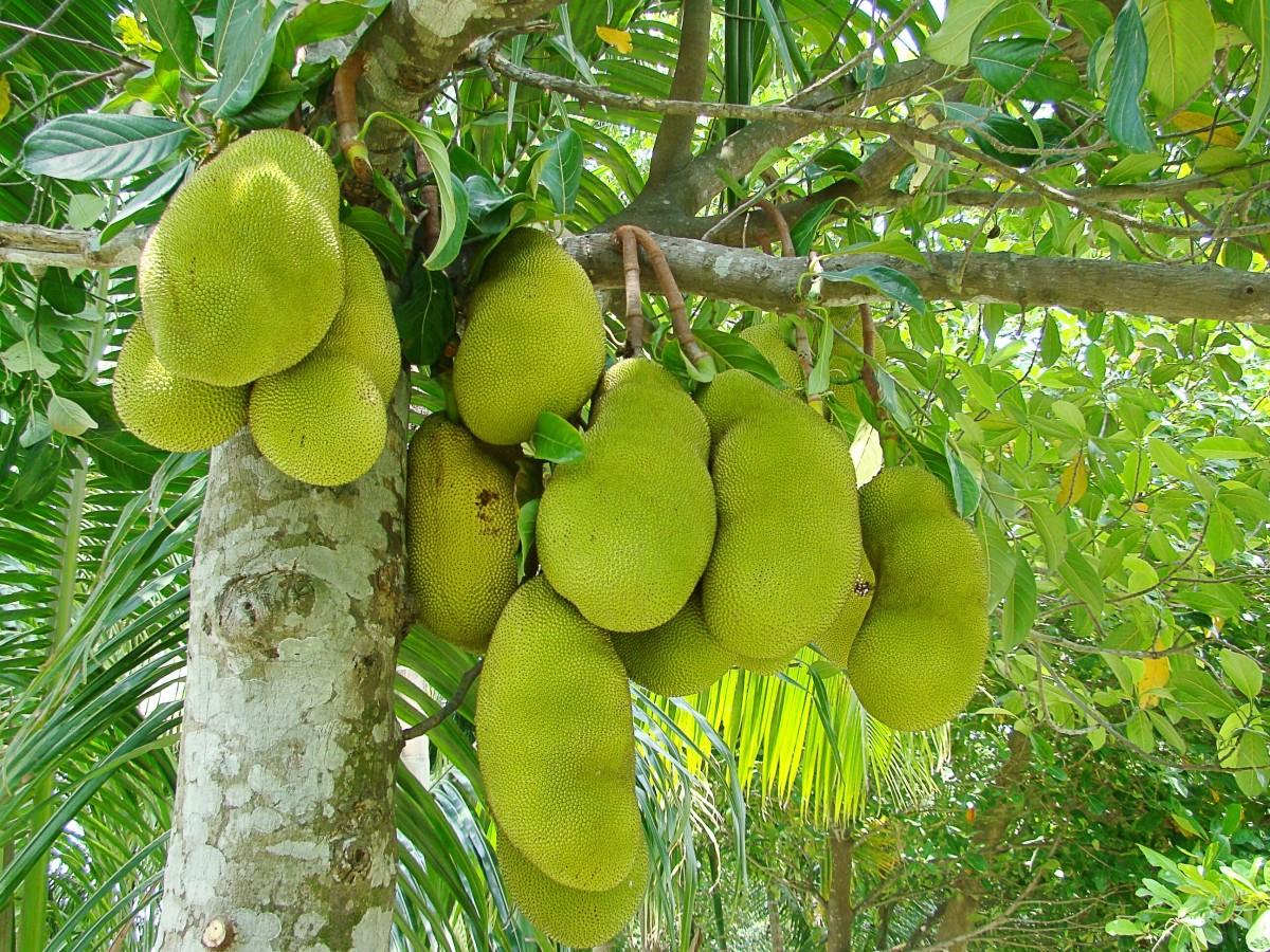 Ripening jackfruit