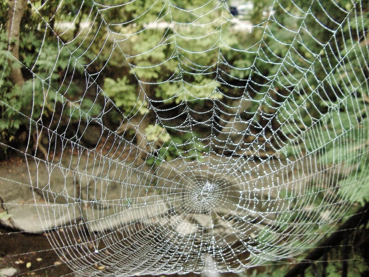 10 Super Silky Spider Facts