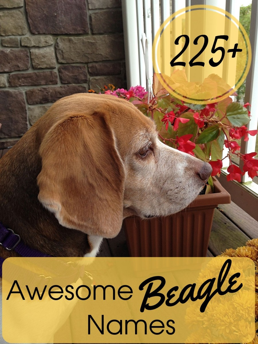 Find the perfect name for your new beagle buddy in this list with over 225 to choose from.