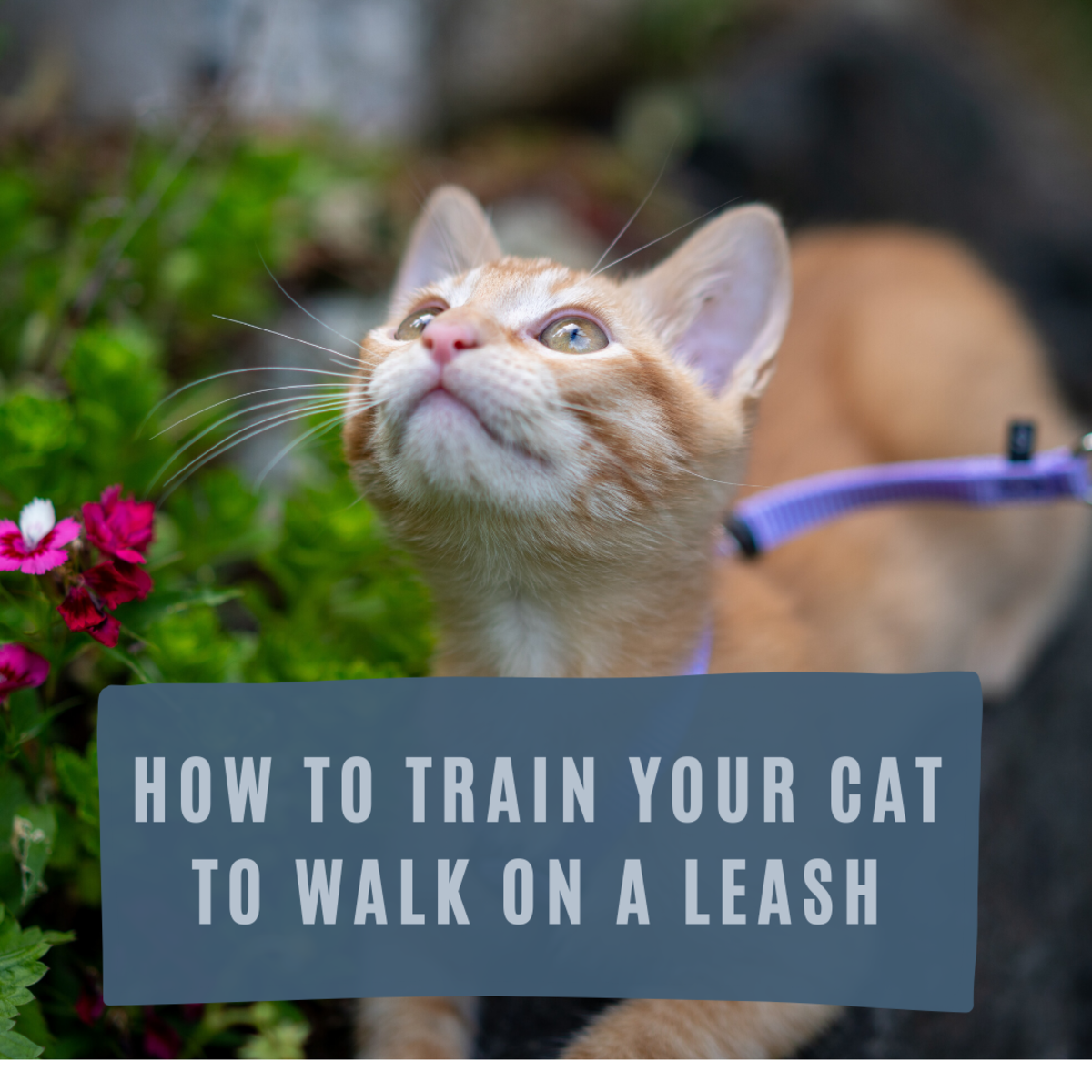 How to Train Your Cat to Walk on a Leash or Cat Harness