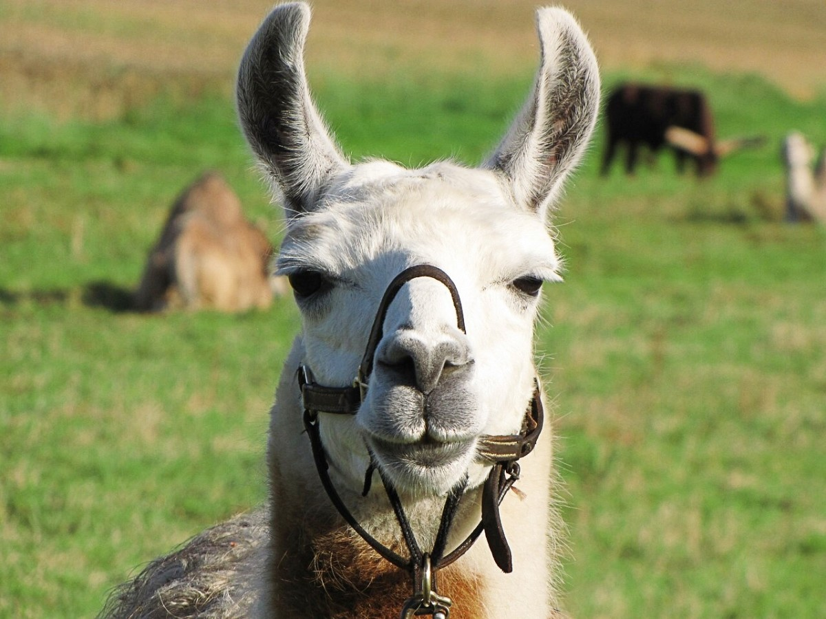 Antibodies in llama blood may help us to create a better flu treatment.
