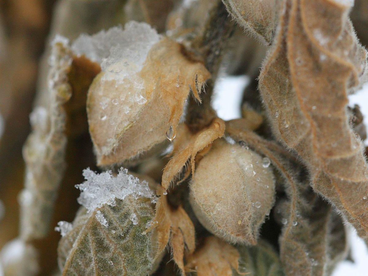 Ashwagandha seed pods