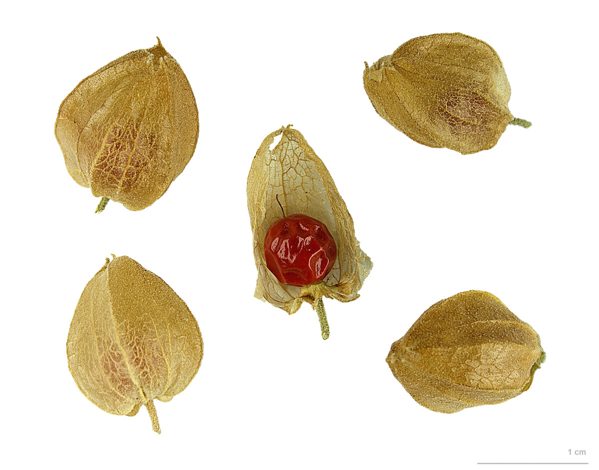 Ashwagandha fruits & seeds