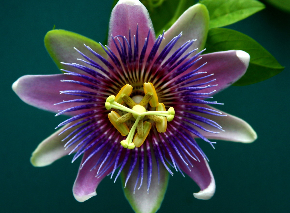 The passion flower can also be used to help treat GAD