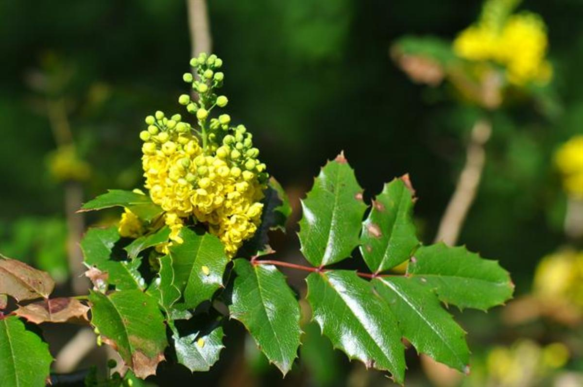The Oregon Grape plant may be beneficial as an alternative treatment for scalp psoriasis.