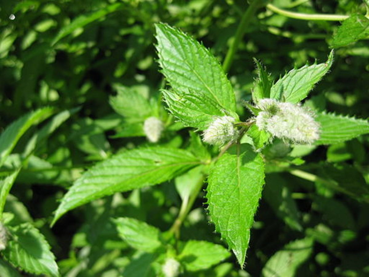 benefits-of-peppermint-essential-oil