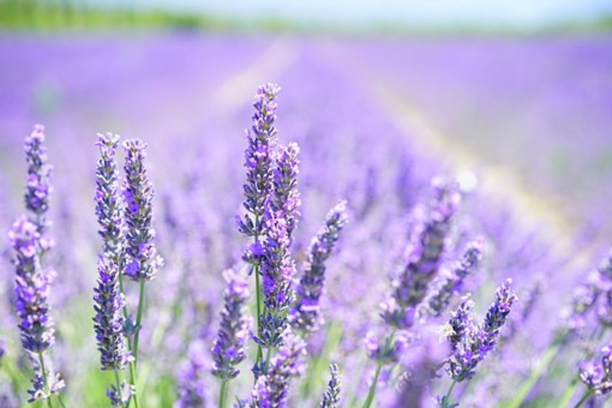 Lavender essential oil is great for promoting sleep and naturally calming the mind.