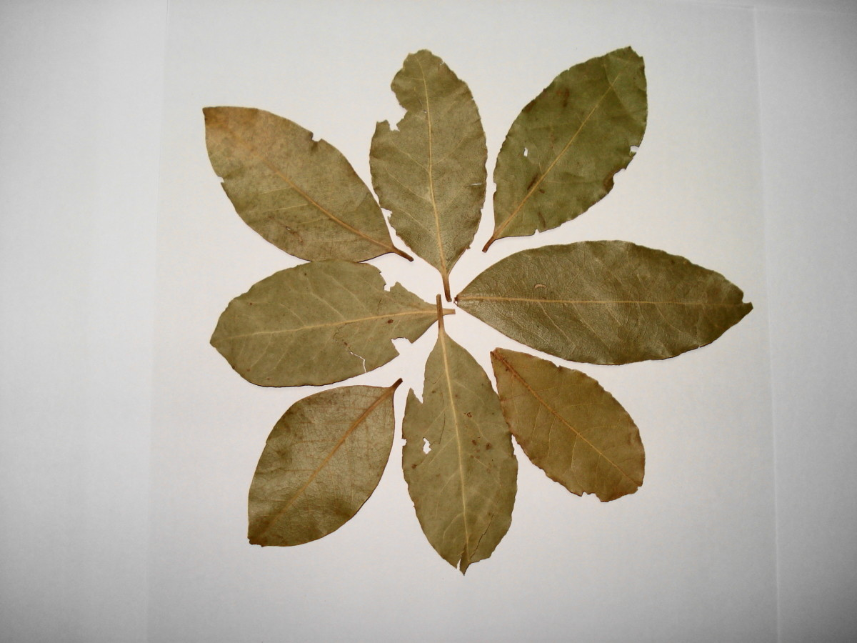 Bay leaves can be either consumed fresh or dried.