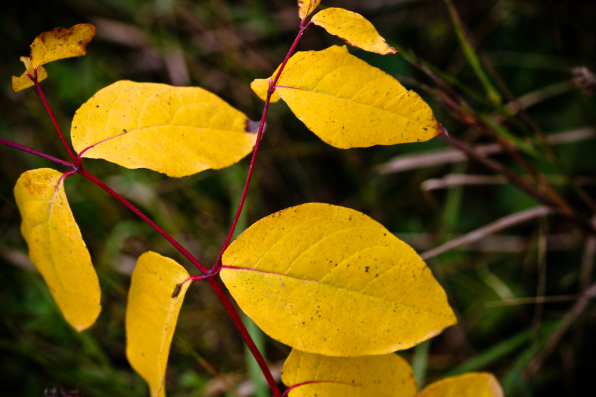 Bay leaves are not always green.  They come in a variety of colors, including yellow.