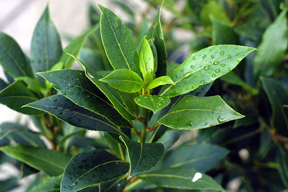 Bay leaves have many health benefits.  Consider including them in your daily diet.