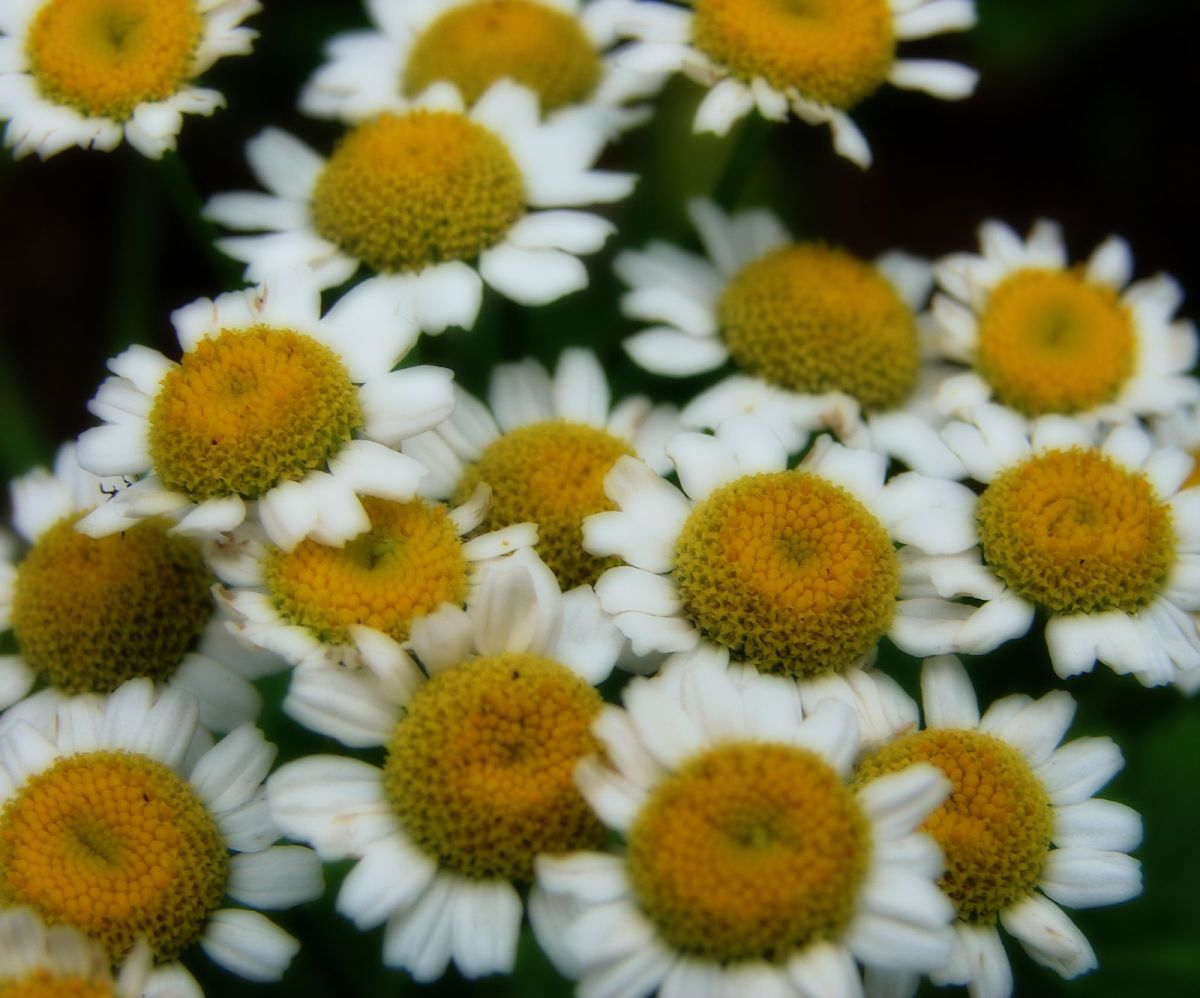 The Healing Properties of Feverfew