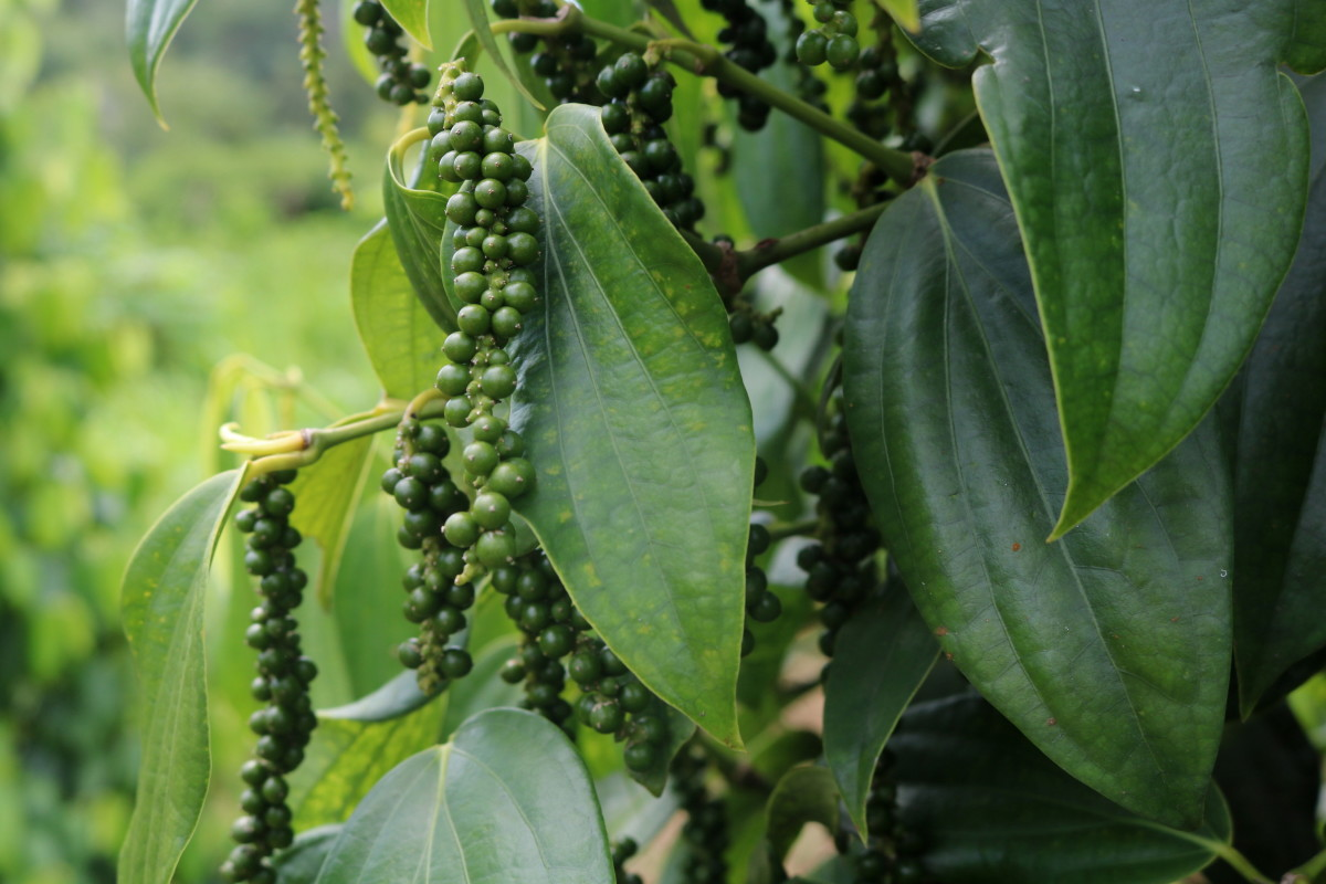 Pepper Plant with peppercorn drupes