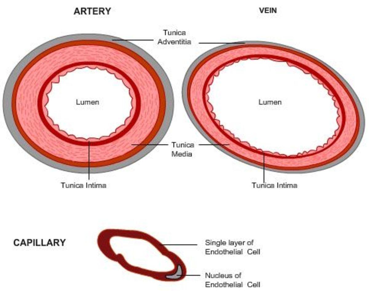 Artery, Vein and Capillary Cross Section
