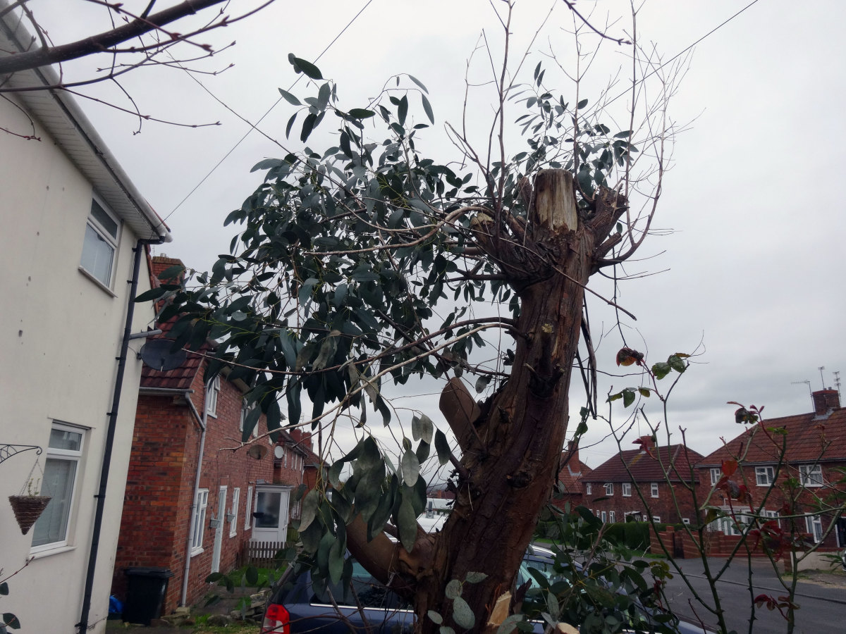 The eucalyptus tree after I'd given it its yearly prune.