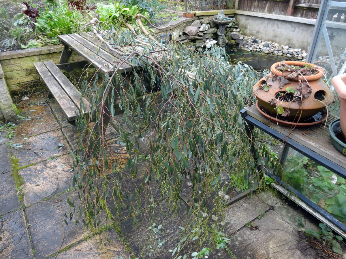 Pruned eucalyptus branches in back garden ready to harvest leaves for making oil.