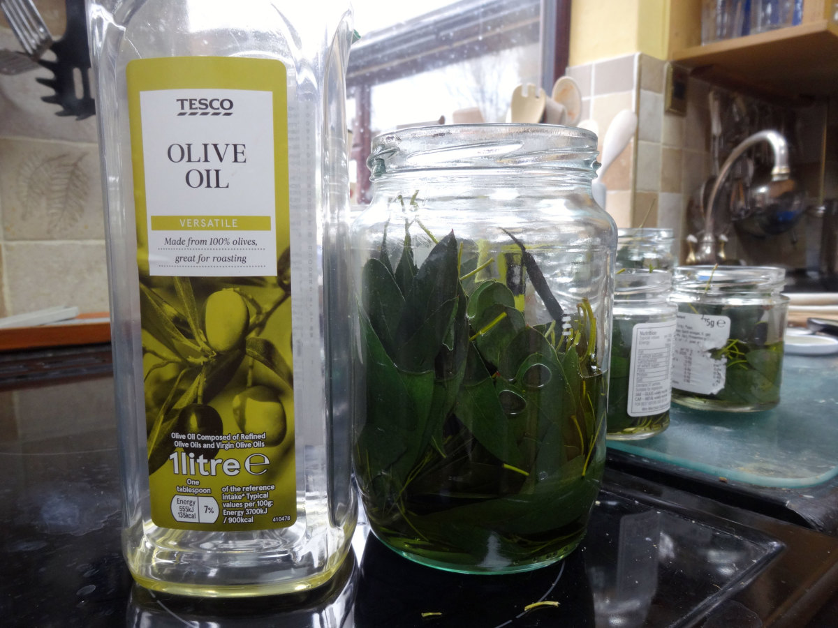Adding olive oil to eucalyptus leaves as base oil for making eucalyptus essential oil.