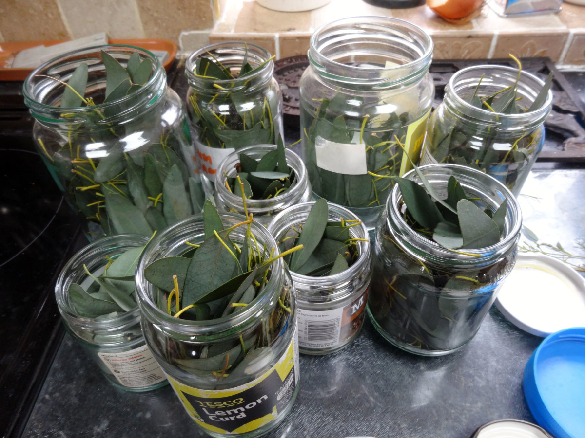 Filling jars with eucalyptus Leaves.