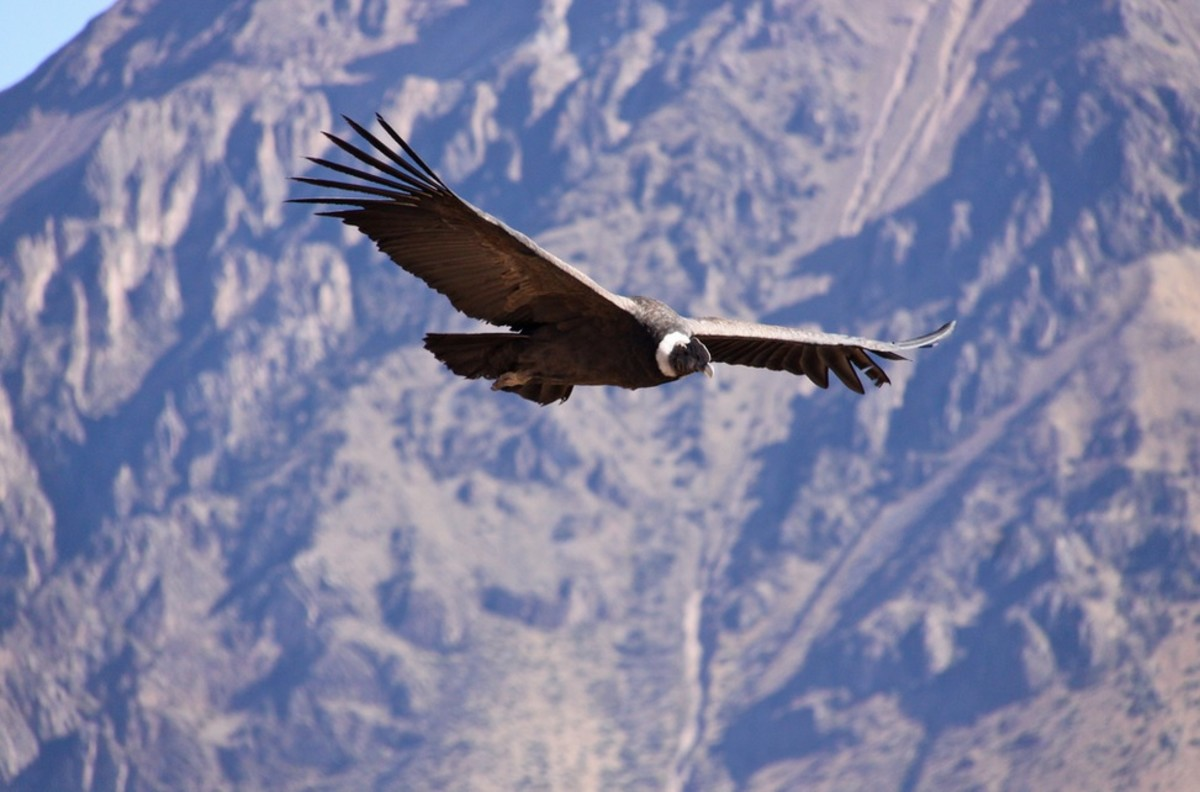 The gliding ability of the Andean Condor has inspired many South American songwriters and a few North American ones, as well.