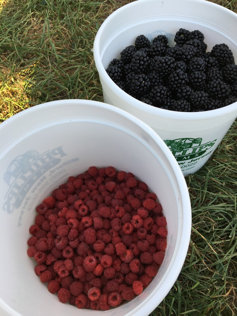 Pick-your-own raspberries and blackberries from Phillips Farm in Milford, NJ.