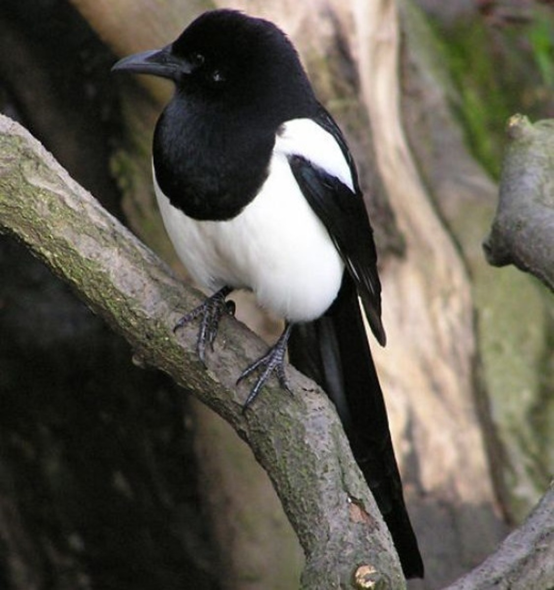 A Magpie or Pica. This bird eats almost anything.
