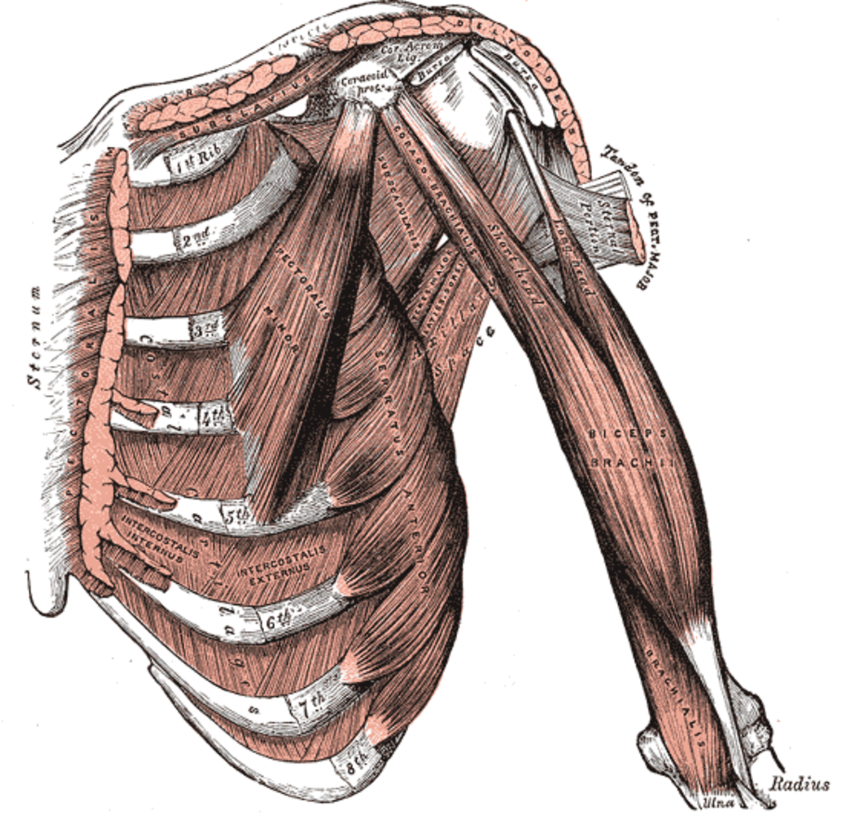 Intercostal muscles go from rib to rib.
