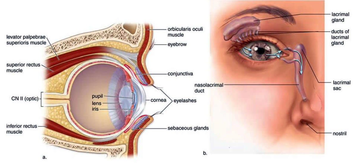 The lacrimal gland, lacrimal sac, and nasolacrimal duct. The sebaceous (meiboman glands) are also seen in the diagram on the left.