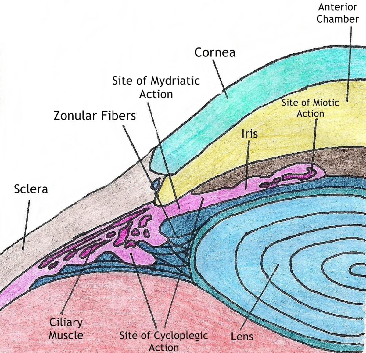 This drawing shows the anatomy of the iris as well as the structures involved in accommodation and dilation.