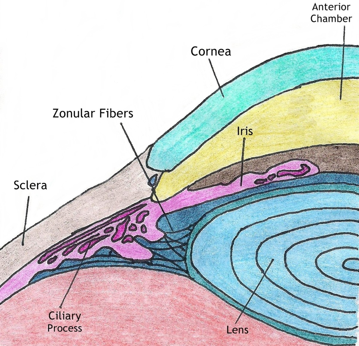 A diagram showing the location of the iris, lens and anterior chamber.