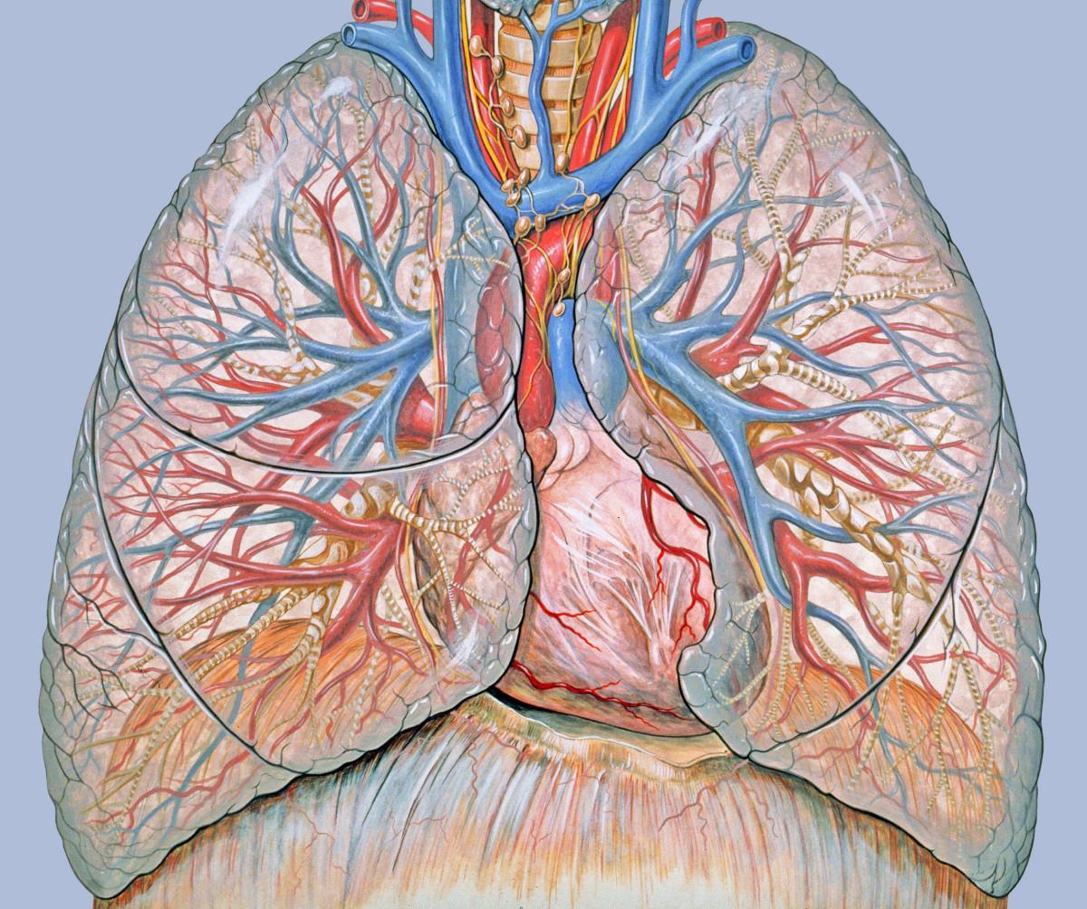 (1) arteries in red (2) veins in blue (3) bronchioles are the small banded branches