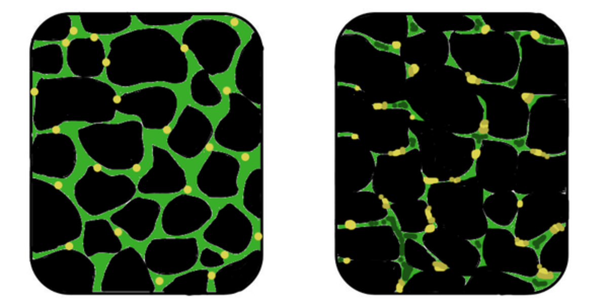Affected muscle tissue on the right with reduced dystrophin (green) production compared to healthy tissue on the left.
