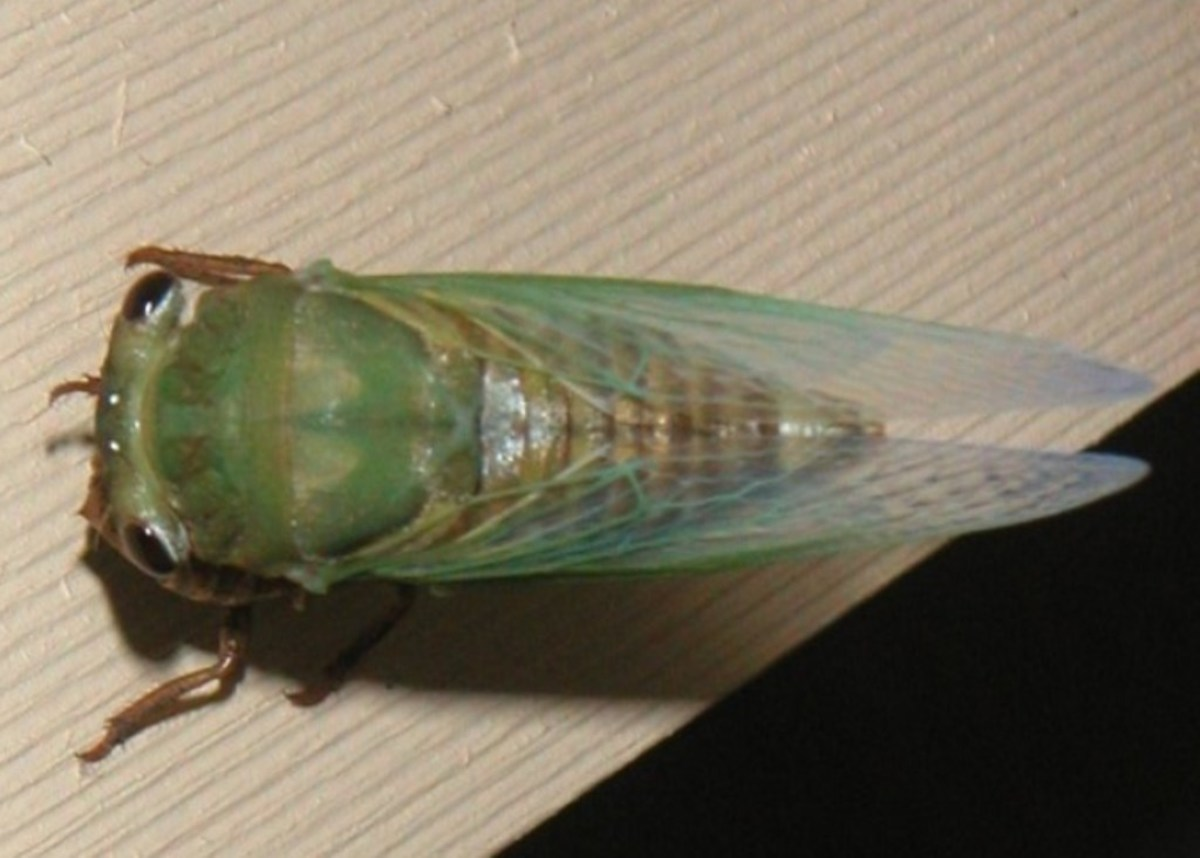 Cicada Facts, Folklore, and Photos
