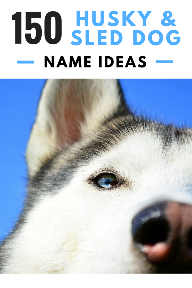 150+ Cool Husky Names and Sled Dog Name Ideas